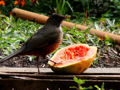Pássaro e o mamão