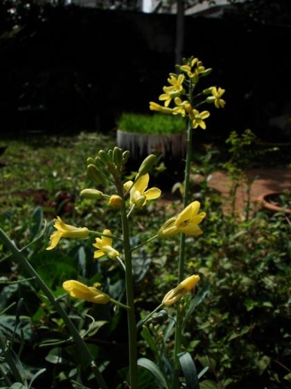 flor de couve manteiga