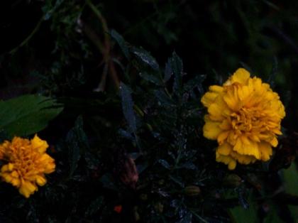 flor mexicana
