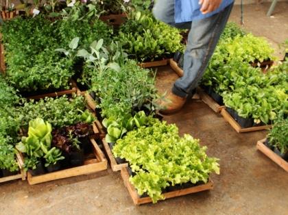 mudas de ervas, temperos e saladas