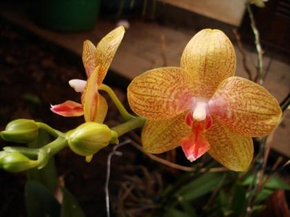orquidea amarela duas abertas