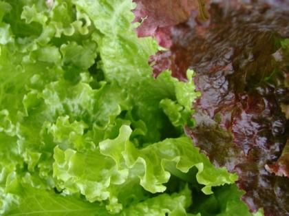 Alface Crespa Verde e Roxa Da horta organica caseira