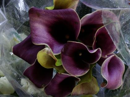 Flor Cala Roxa