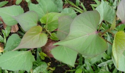 Folha de Batata Roxa Plantada  horta organica